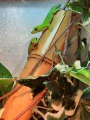 Junge Madagaskar Taggeckos