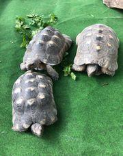 3 Männliche Breitrandschildkröten zu verkaufen