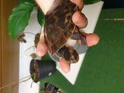 1 0 Rotbauch Spitzkopfschildkröte NZ