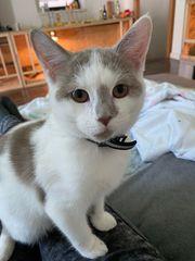 Deven Rex Baby Katze