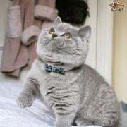 4 zuckersüße BKH Kitten suchen