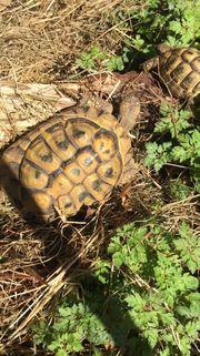 2 griechische Land Schildkröten zu