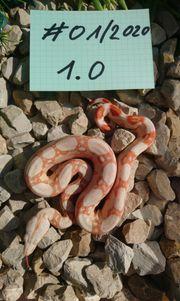 Boa constrictor imperator kahl albino