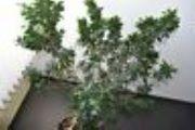Schöner Bonsai Ficus