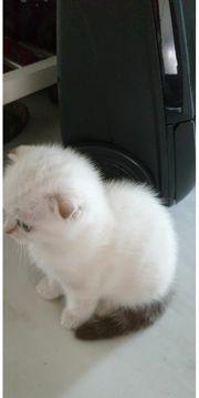 wunderschöne BHK Babykatzen