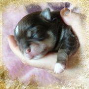 Chihuahua wurf Ankündigung Mitte Februar