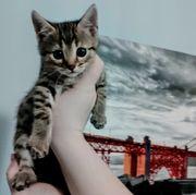 Bengal Mix Kitten Abhohl bereit