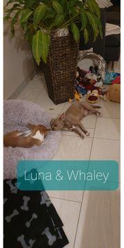 Update Chihuahua Wurfankündigung