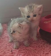 Noch 3 Britisch Kurzhaar Kitten
