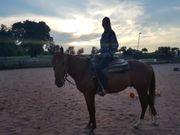 Quater Horse Walach Sehr gute