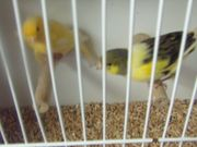 Kanarienvögel Hähne