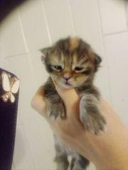 Maine coon Katzenbaby Kitten