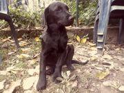 Labrador Welpen 1 Rüde