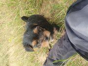 Yorkshire terrier suchen demnächst ihr