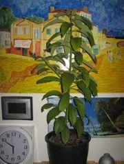 Mangobäumchen 2 Jahre
