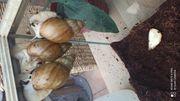 Afrikanische Riesenschnecken Achatina Fulica