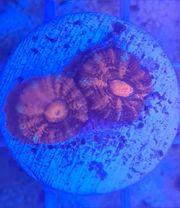 Meerwasser Acanthastrea Frag