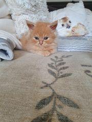 Britisch Langhaar kitten suchen ein
