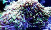 Alveopora Grün Lila