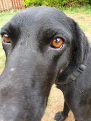 Mr Murphy - schwarzer Labradormix sucht
