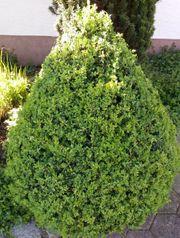 Schöner gesunder Buchsbaum - Kegelform - H