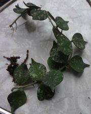 Hoya Curtisii Porzellan-Blume Pflanze Ableger