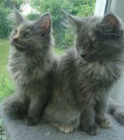Reinrassige Maine-Coon-Katzenbabys Coonie-Kitten Tortie Mädchen