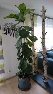 Pflanze ca 180 cm groß
