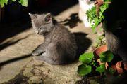 Kätzchen kartäusergrau