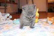 Britisch Kurzhaar kitten Kater