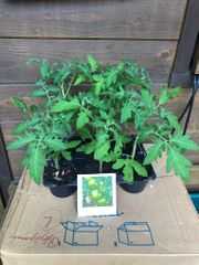 8 x Tomatenpflanzen - grün ca