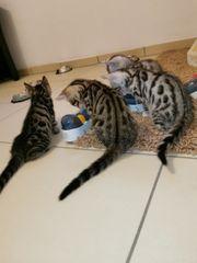 Bengal kitten braun und silver