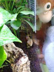 Kronengecko männlich Dalmatiner 1 5