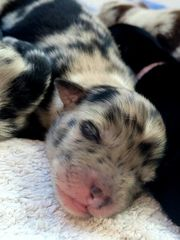 Hundewelpen Australien Shepherd Aussiedor