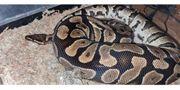 Yellowbelly Weibchen Köigspython