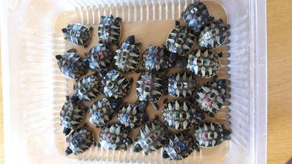 Nachzucht 2020 Griechische Landschildkröten