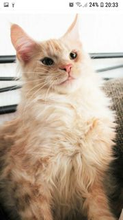Maine Coon red smoke boy