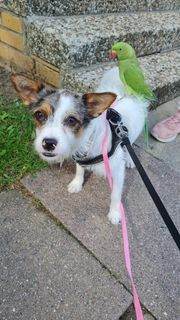 jack Russell Mischling s dame
