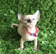 Wunderschöne reinrassige Kanadische Sphynx Kitten