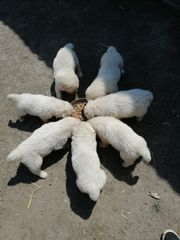 Pyrenäenberghunde