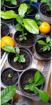 Ich verkaufe Mandarinenpflanzen für einen