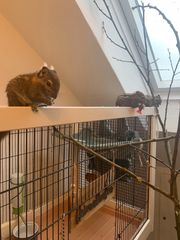 Baumstreifenhörnchen 4 Weibchen