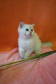 BKH Golden Point Shaded Kitten