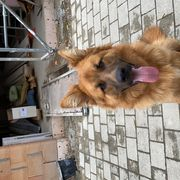 Schäferhund- Rocky 10 Monate alt