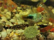 Platy Platys Fische