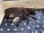 Labrador Welpen reinrassig