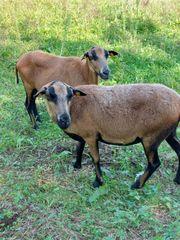 3er Herde Kamerunschafe