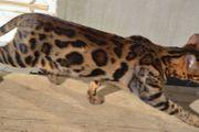 Bengal Kater Kitten jung zu