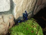 Blauer Baumsteiger lat Dendrobates azureus