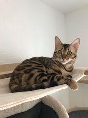 Wunderschöne reinrassige junge Bengal Katze